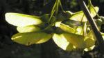 Berg Ahorn Frucht Acer pseudoplatanus 02