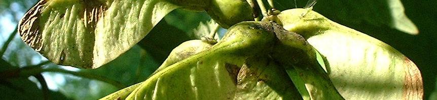 Anklicken um das ganze Bild zu sehen Berg-Ahorn Samen Acer pseudoplatanus