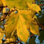 Berg Ahorn Acer pseudoplatanus 01