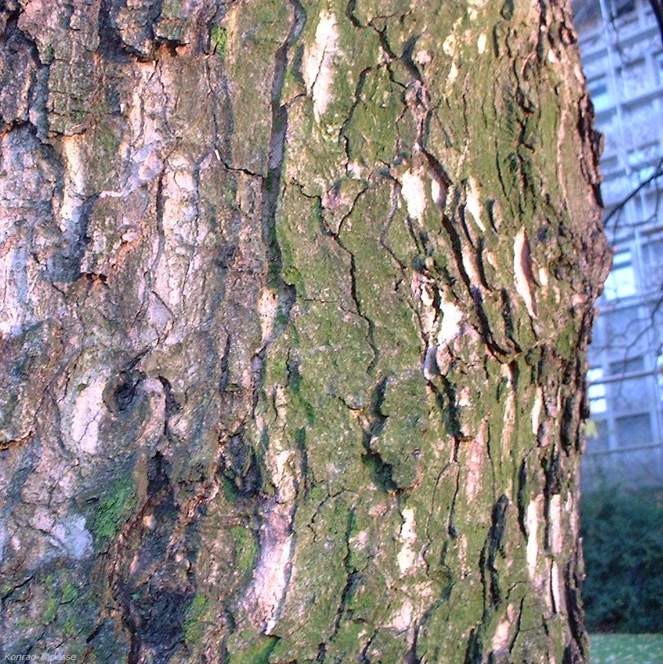 Berg Ahorn Acer pseudoplatanus