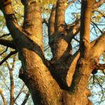 Berg Ahorn Acer pseudoplatanus 04