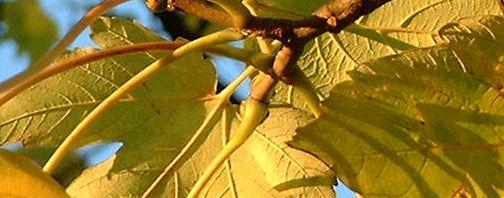 Anklicken um das ganze Bild zu sehen Berg Ahorn Acer pseudoplatanus