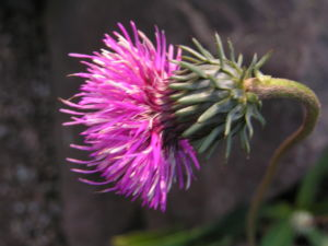 Berg Distel Bluete pink Carduus defloratus 00