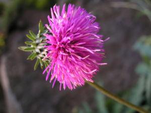 Berg Distel Bluete pink Carduus defloratus 01