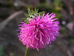 Berg Distel Bluete pink Carduus defloratus 02