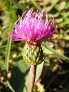 Berg Distel Bluete pink Carduus defloratus 03