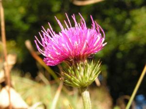 Berg Distel Bluete pink Carduus defloratus 06