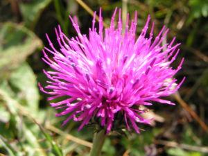 Berg Distel Bluete pink Carduus defloratus 08