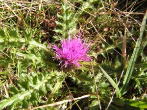 Berg Distel Bluete pink Carduus defloratus 09