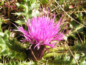 Berg Distel Bluete pink Carduus defloratus 10