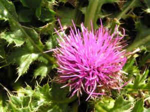 Berg Distel Bluete pink Carduus defloratus 11