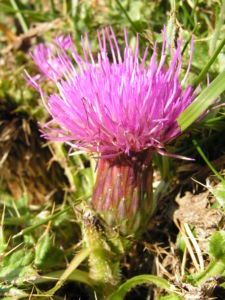 Berg Distel Bluete pink Carduus defloratus 12