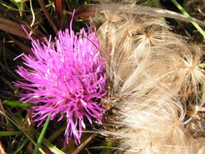 Berg Distel Bluete pink Carduus defloratus 13