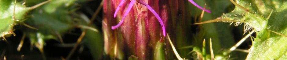 Anklicken um das ganze Bild zu sehen Alpen-Distel Blüte lila Carduus defloratus