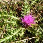 Berg Distel Bluete pink Carduus defloratus 05