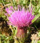 Berg Distel Bluete pink Carduus defloratus 07