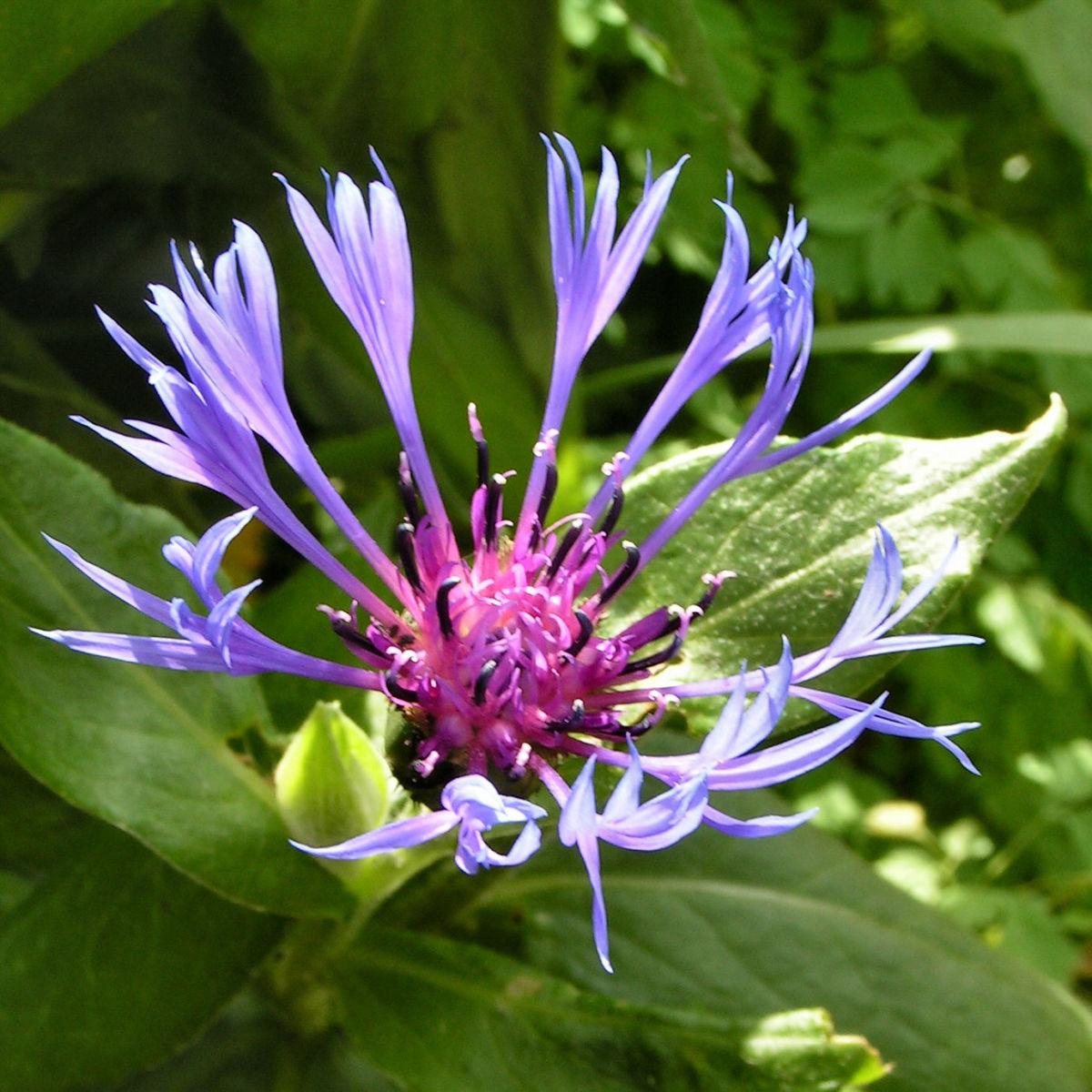 Berg Flockenblume Bluete blau Centaurea montana
