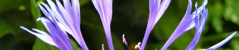 Anklicken um das ganze Bild zu sehen Berg-Flockenblume Blüte blau Centaurea montana