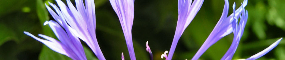 berg-flockenblume-bluete-blau-centaurea-montana