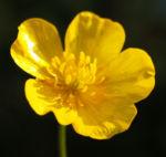 Berg Hahnenfuss Kraut Bluete gelb Ranunculus montanus 02