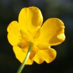 Berg Hahnenfuss Kraut Bluete gelb Ranunculus montanus 03