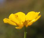 Berg Hahnenfuss Kraut Bluete gelb Ranunculus montanus 07