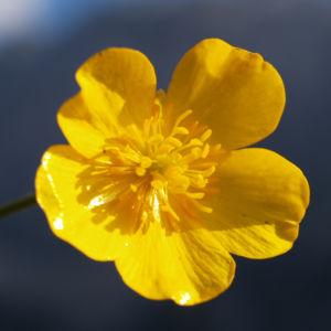 Berg Hahnenfuss Kraut Bluete gelb Ranunculus montanus 11