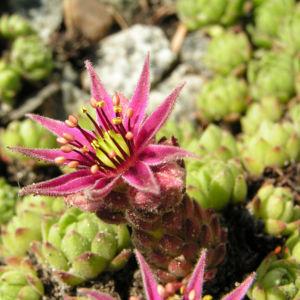 Berg Hauswurz Bluete lila Sempervivum montanum 02