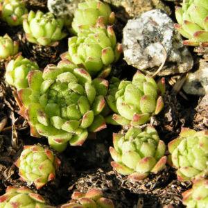 Berg Hauswurz Bluete lila Sempervivum montanum 05