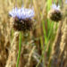 Zurück zum kompletten Bilderset Berg-Sandrapunzel Blüte hellblau Jasione montana