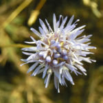 Berg Jasione Bluete hellblau Jasione montana 06
