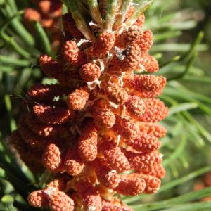 Berg Kiefer Bluete braun Pinus mugo 02