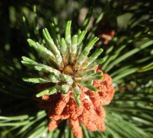 Berg Kiefer Bluete braun Pinus mugo 08