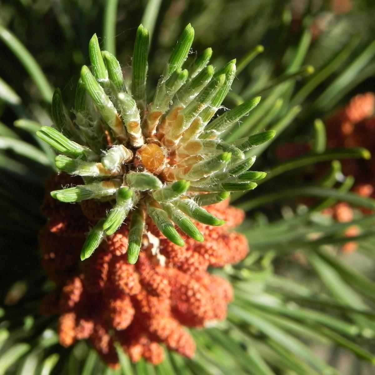Berg Kiefer Bluete braun Pinus mugo