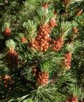 Bild: Berg-Kiefer Blüte braun Nadel grün Pinus mugo