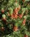 Zurück zum kompletten Bilderset Berg-Kiefer Blüte braun Nadel grün Pinus mugo