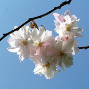 Bild: Berg Kirsche Baum Bluete weiss Prunus subhirtella