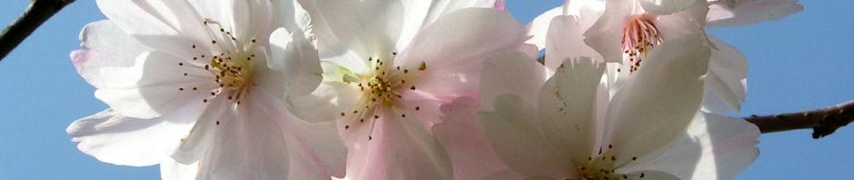 Anklicken um das ganze Bild zu sehen Winterkirsche Baum Blüte weiß Prunus subhirtella