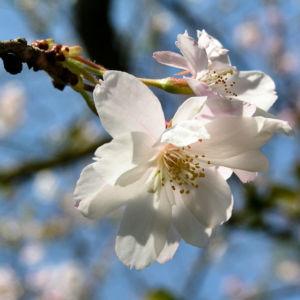 Berg Kirsche Baum Bluete weiss Prunus subhirtella 03
