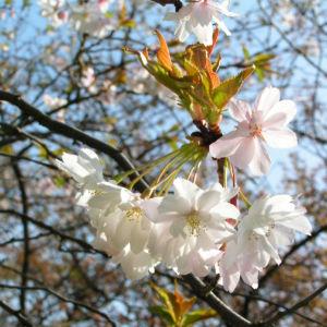 Berg Kirsche Baum Bluete weiss Prunus subhirtella 05