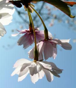 Berg Kirsche Baum Bluete weiss Prunus subhirtella 07