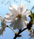 Berg Kirsche Baum Bluete weiss Prunus subhirtella 09