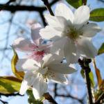 Berg Kirsche Baum Bluete weiss Prunus subhirtella 10