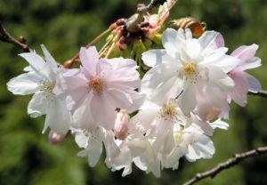 Berg Kirsche Baum Bluete weiss Prunus subhirtella 11