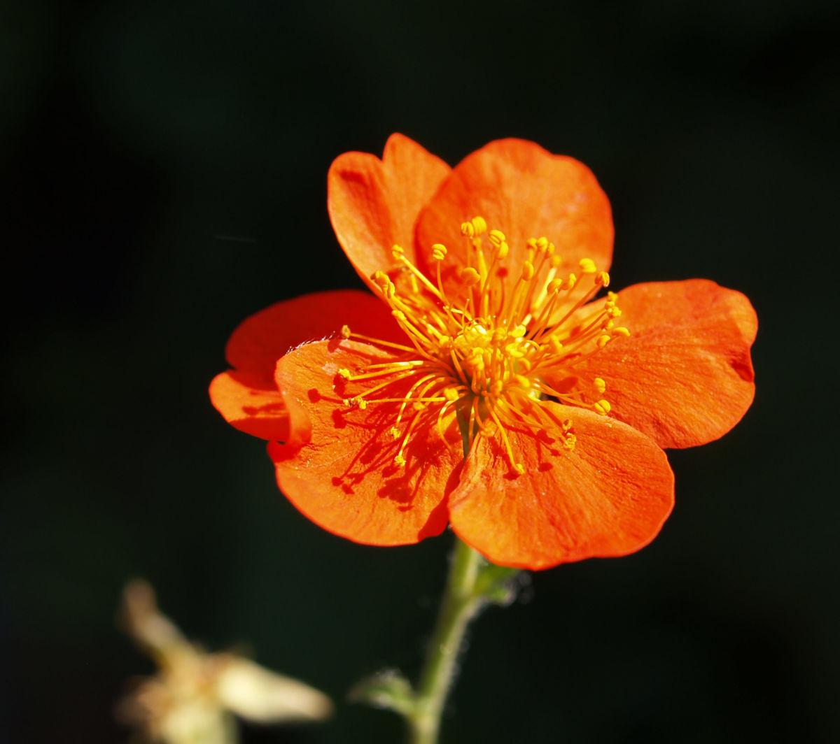 Berg Nelkenwurz Bluete gelb orange Geum montanum