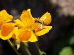 Bild: Berg-Nelkenwurz Blüte gelb orange Geum montanum