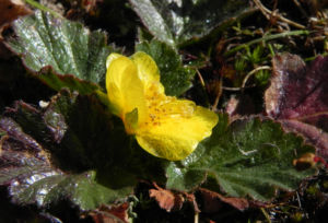 Berg Nelkenwurz Bluete gelb Geum montanum 06