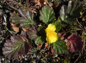 Berg Nelkenwurz Bluete gelb Geum montanum 09