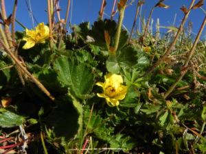 Berg Nelkenwurz Bluete gelb Geum montanum 10