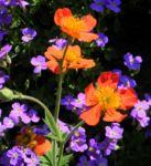 Berg Nelkenwurz Bluete orange Geum montanum 02